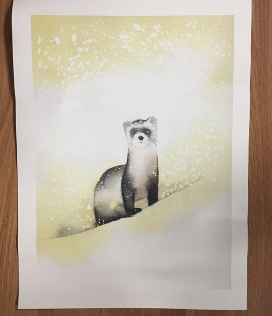 329. Black footed ferret print w/frame